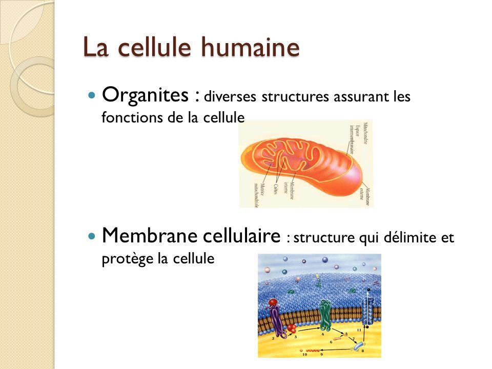 La cellule humaine Organites : diverses structures assurant les fonctions de la cellule Membrane cellulaire : structure qui délimite et protège la cel