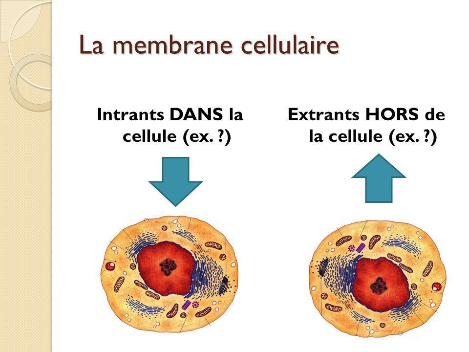La division cellulaire Afin de : Permettre à lorganisme de grandir Régénérer les tissus blessés ou usés Permettre la reproduction sexuée la cellule va se diviser pour produire dautres cellules