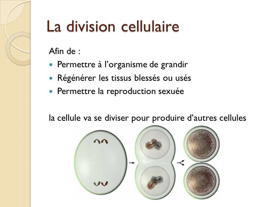 La division cellulaire Afin de : Permettre à lorganisme de grandir Régénérer les tissus blessés ou usés Permettre la reproduction sexuée la cellule va