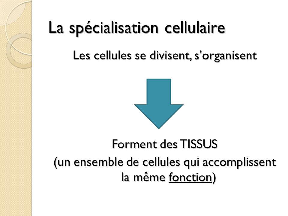 La spécialisation cellulaire Les cellules se divisent, sorganisent Forment des TISSUS (un ensemble de cellules qui accomplissent la même fonction)