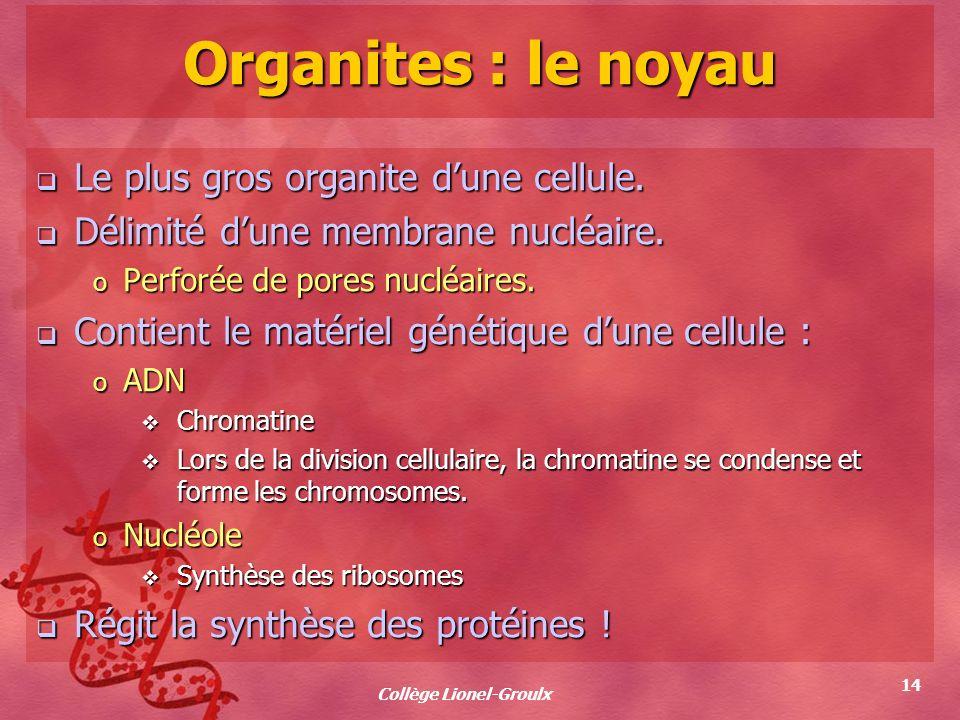 Collège Lionel-Groulx 14 Organites : le noyau Le plus gros organite dune cellule. Le plus gros organite dune cellule. Délimité dune membrane nucléaire
