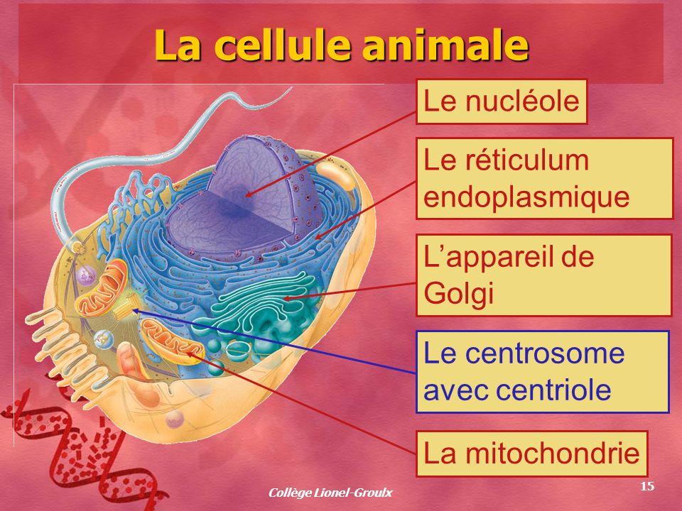 Collège Lionel-Groulx 15 La cellule animale Le nucléoleLe réticulum endoplasmique Lappareil de Golgi Le centrosome avec centriole La mitochondrie