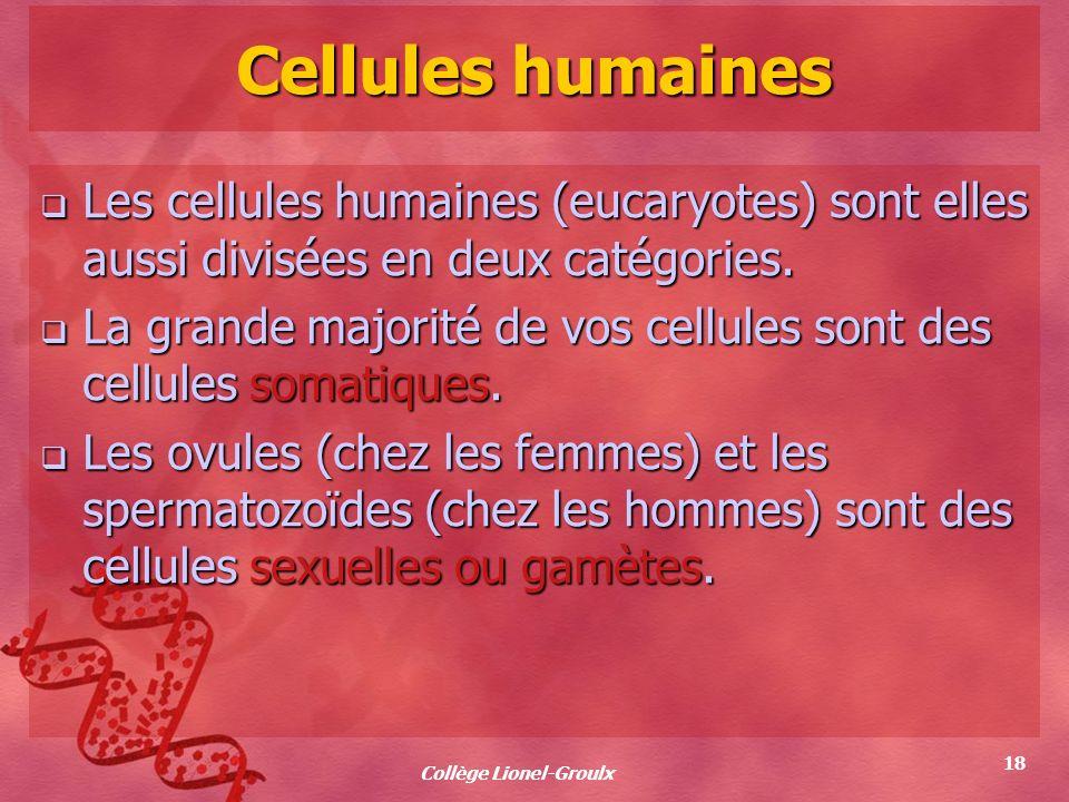 Collège Lionel-Groulx 18 Cellules humaines Les cellules humaines (eucaryotes) sont elles aussi divisées en deux catégories. Les cellules humaines (euc