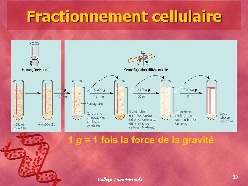 Collège Lionel-Groulx 23 Fractionnement cellulaire 1 g = 1 fois la force de la gravité