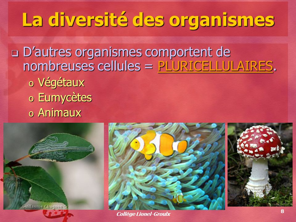 Collège Lionel-Groulx 8 La diversité des organismes Dautres organismes comportent de nombreuses cellules = PLURICELLULAIRES. Dautres organismes compor