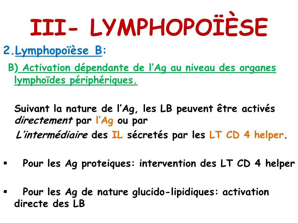 III- LYMPHOPOÏÈSE 2.Lymphopoïèse B: B) Activation dépendante de lAg au niveau des organes lymphoïdes périphériques. Suivant la nature de lAg, les LB p