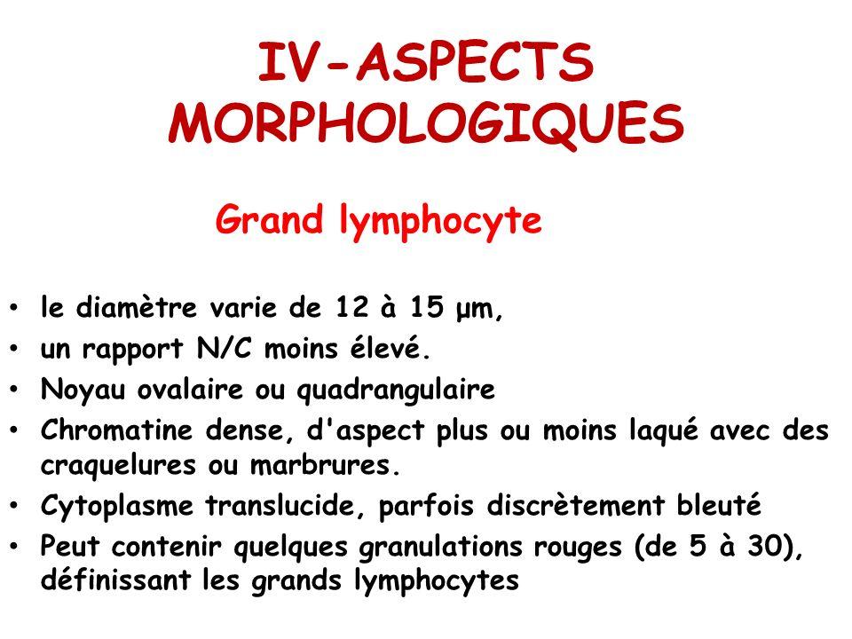 IV-ASPECTS MORPHOLOGIQUES Grand lymphocyte le diamètre varie de 12 à 15 μm, un rapport N/C moins élevé. Noyau ovalaire ou quadrangulaire Chromatine de