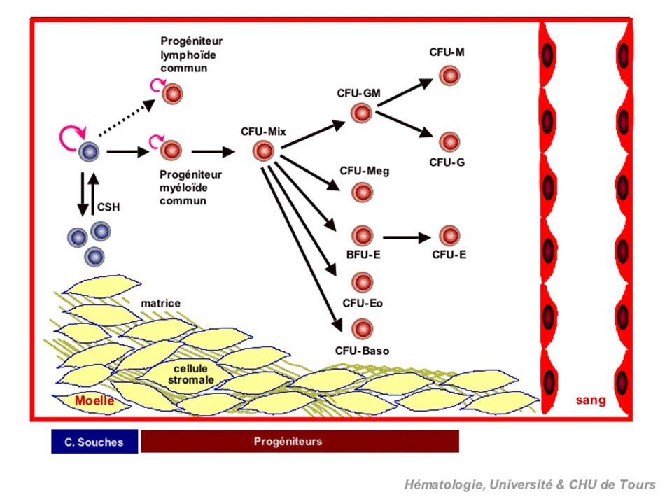 II- ORIGINE ET CIRCULATION DES CELLULES LYMPHOÏDES Les cellules souches lymphoïdes proviennent de la cellule souche pluripotente médullaire.