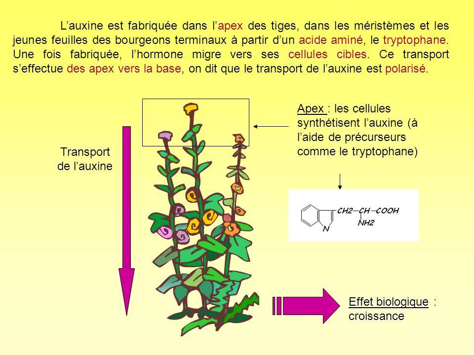 Lauxine est fabriquée dans lapex des tiges, dans les méristèmes et les jeunes feuilles des bourgeons terminaux à partir dun acide aminé, le tryptophan