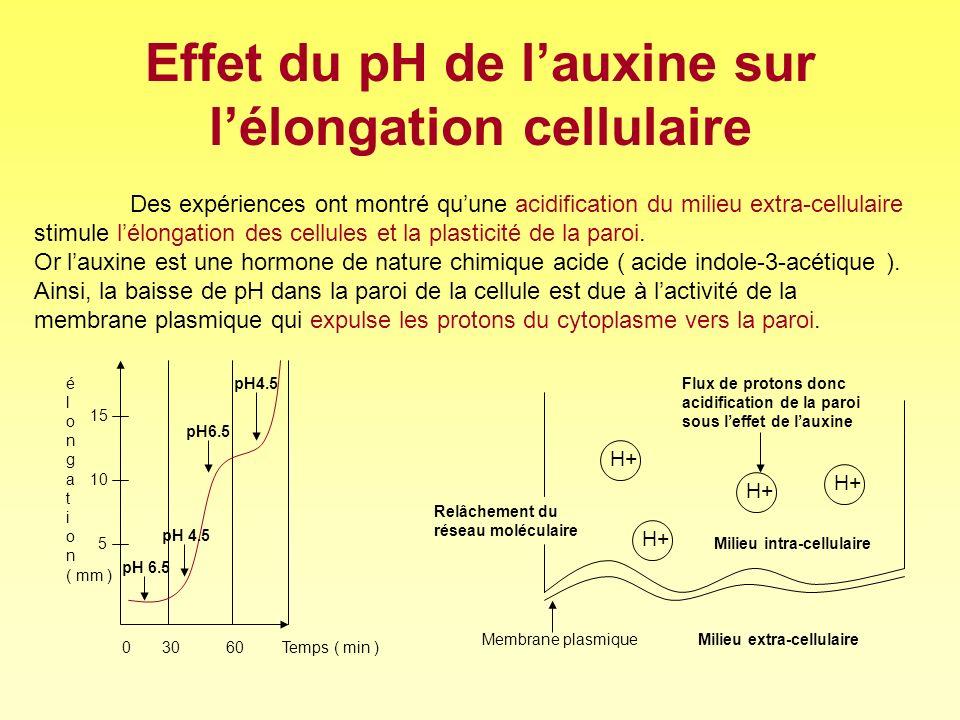 Des expériences ont montré quune acidification du milieu extra-cellulaire stimule lélongation des cellules et la plasticité de la paroi. Or lauxine es