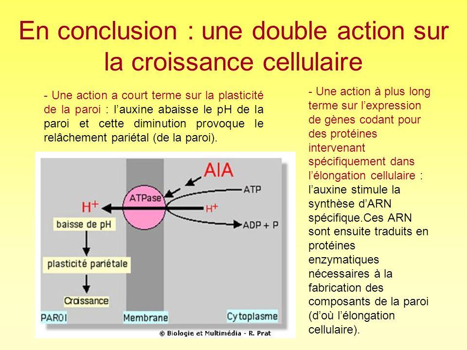 En conclusion : une double action sur la croissance cellulaire - Une action a court terme sur la plasticité de la paroi : lauxine abaisse le pH de la