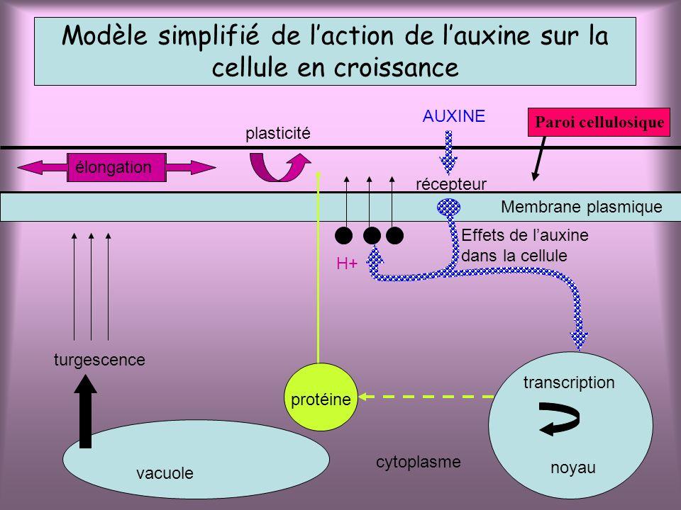 vacuole turgescence Modèle simplifié de laction de lauxine sur la cellule en croissance Membrane plasmique noyau transcription cytoplasme protéine Eff