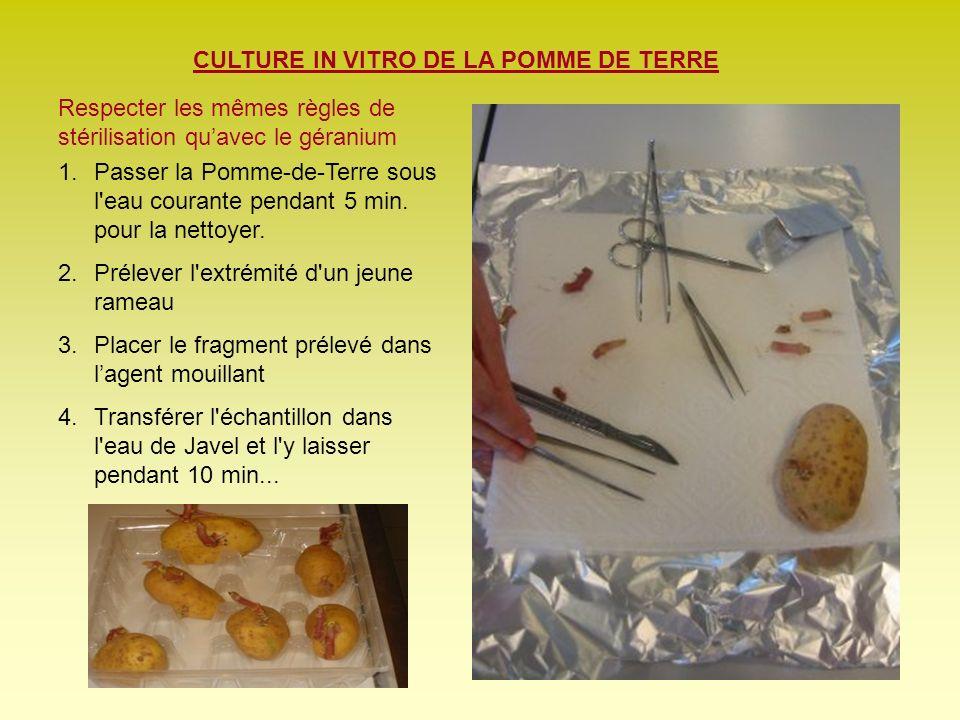 CULTURE IN VITRO DE LA POMME DE TERRE Respecter les mêmes règles de stérilisation quavec le géranium 1.Passer la Pomme-de-Terre sous l'eau courante pe