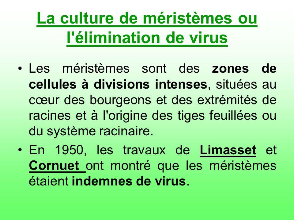 La culture de méristèmes ou l'élimination de virus Les méristèmes sont des zones de cellules à divisions intenses, situées au cœur des bourgeons et de