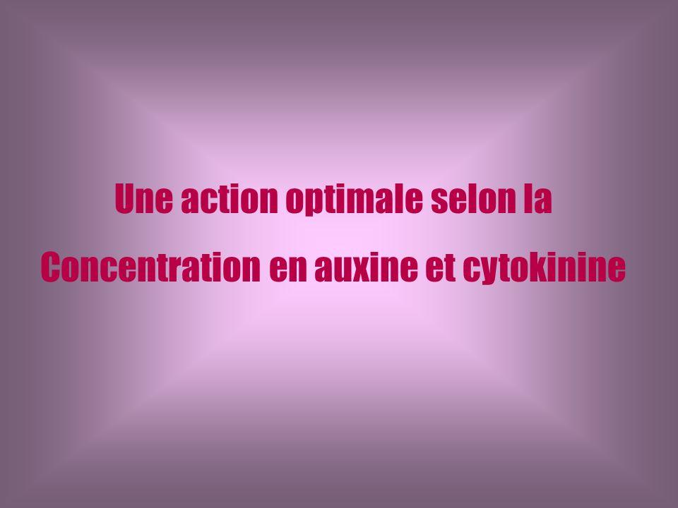 Une action optimale selon la Concentration en auxine et cytokinine