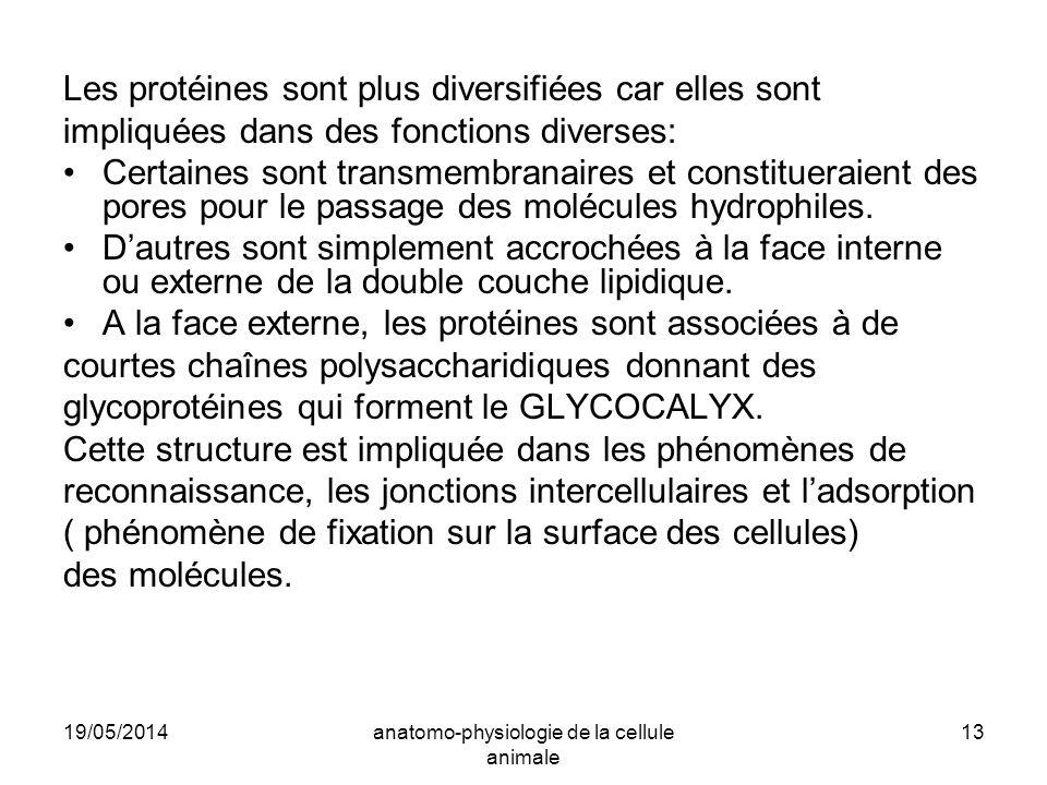 19/05/2014anatomo-physiologie de la cellule animale 13 Les protéines sont plus diversifiées car elles sont impliquées dans des fonctions diverses: Cer