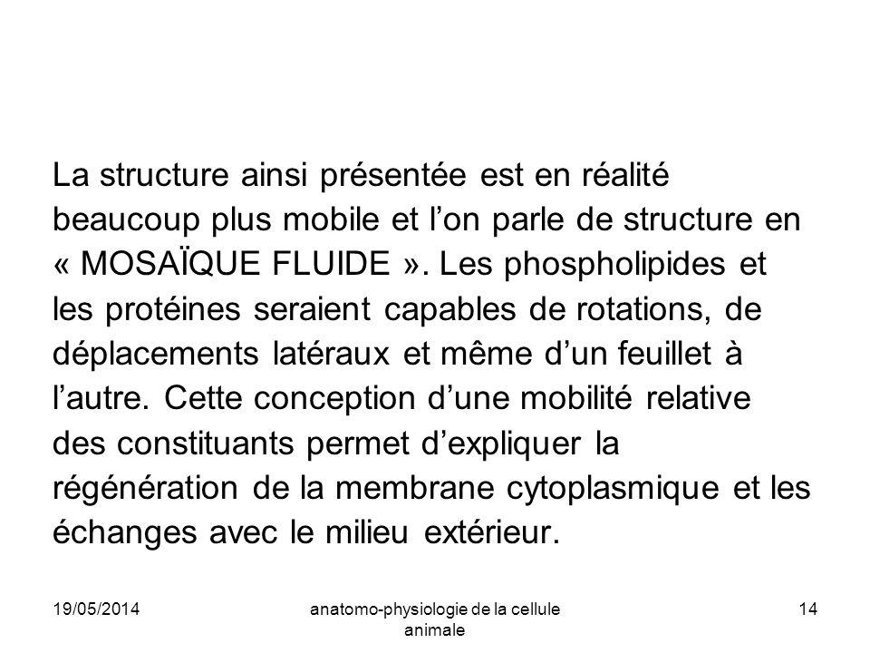19/05/2014anatomo-physiologie de la cellule animale 14 La structure ainsi présentée est en réalité beaucoup plus mobile et lon parle de structure en «