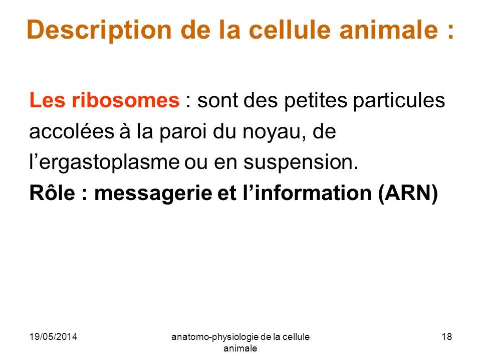 19/05/2014anatomo-physiologie de la cellule animale 18 Description de la cellule animale : Les ribosomes : sont des petites particules accolées à la p
