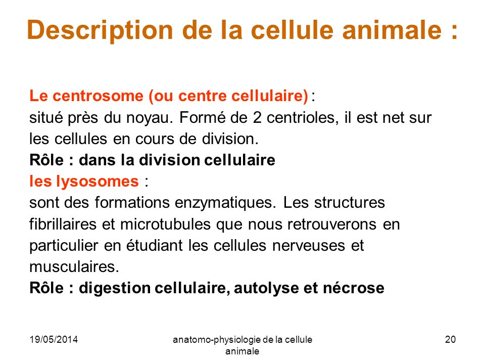 19/05/2014anatomo-physiologie de la cellule animale 20 Description de la cellule animale : Le centrosome (ou centre cellulaire) : situé près du noyau.