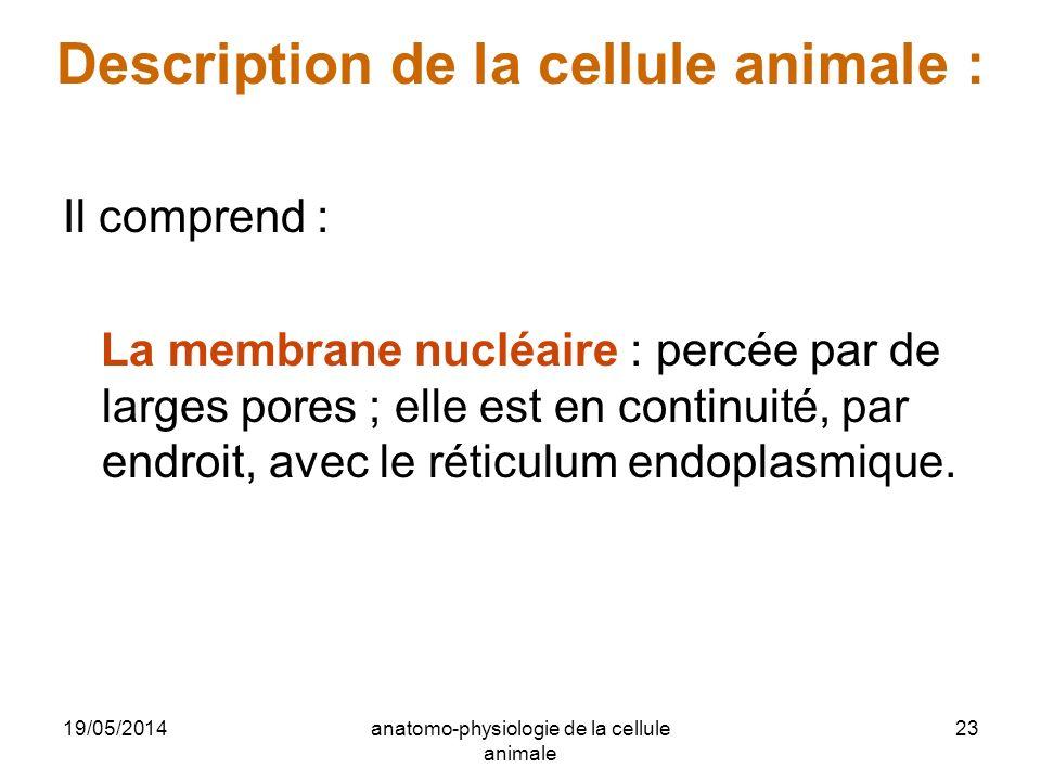 19/05/2014anatomo-physiologie de la cellule animale 23 Description de la cellule animale : Il comprend : La membrane nucléaire : percée par de larges
