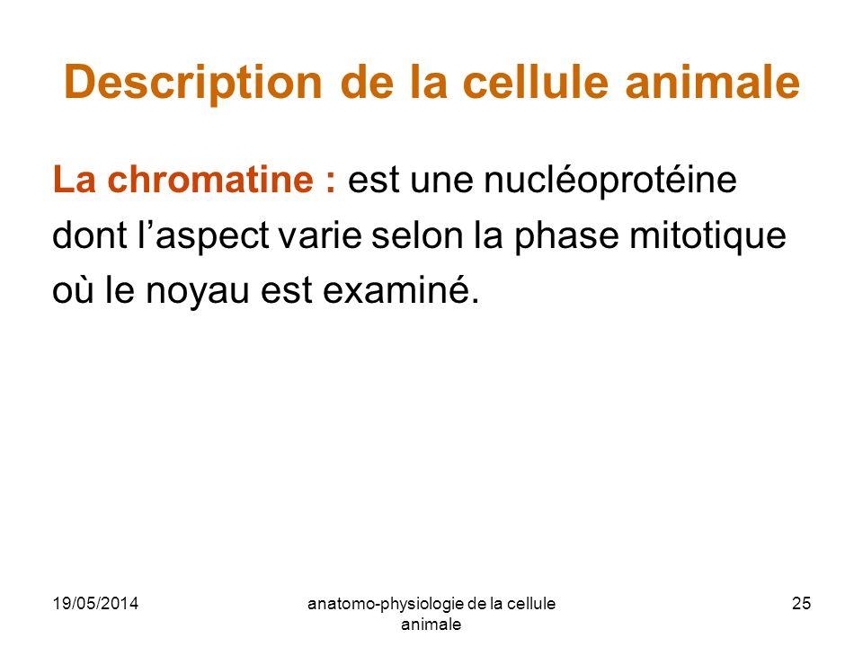 19/05/2014anatomo-physiologie de la cellule animale 25 Description de la cellule animale La chromatine : est une nucléoprotéine dont laspect varie sel