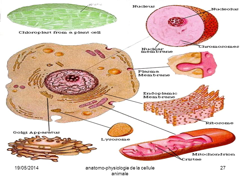19/05/2014anatomo-physiologie de la cellule animale 27