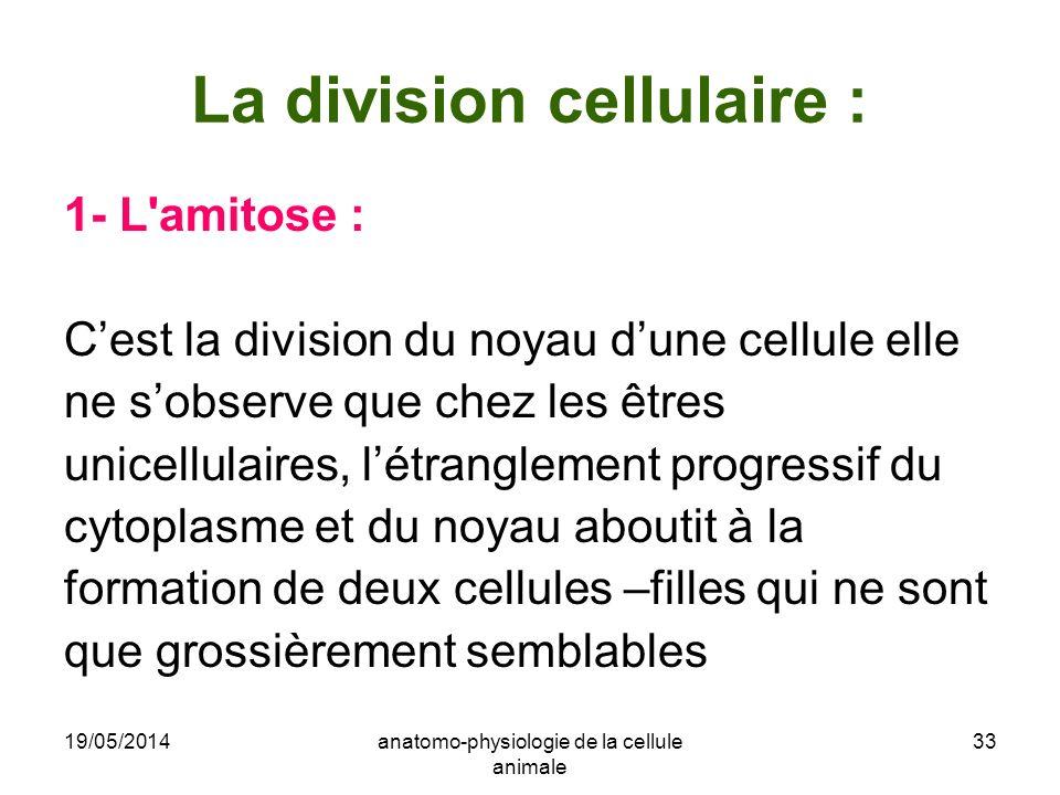 19/05/2014anatomo-physiologie de la cellule animale 33 La division cellulaire : 1- L'amitose : Cest la division du noyau dune cellule elle ne sobserve