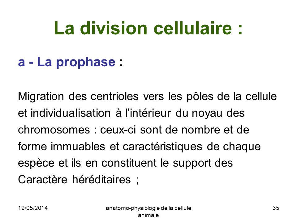 19/05/2014anatomo-physiologie de la cellule animale 35 La division cellulaire : a - La prophase : Migration des centrioles vers les pôles de la cellul