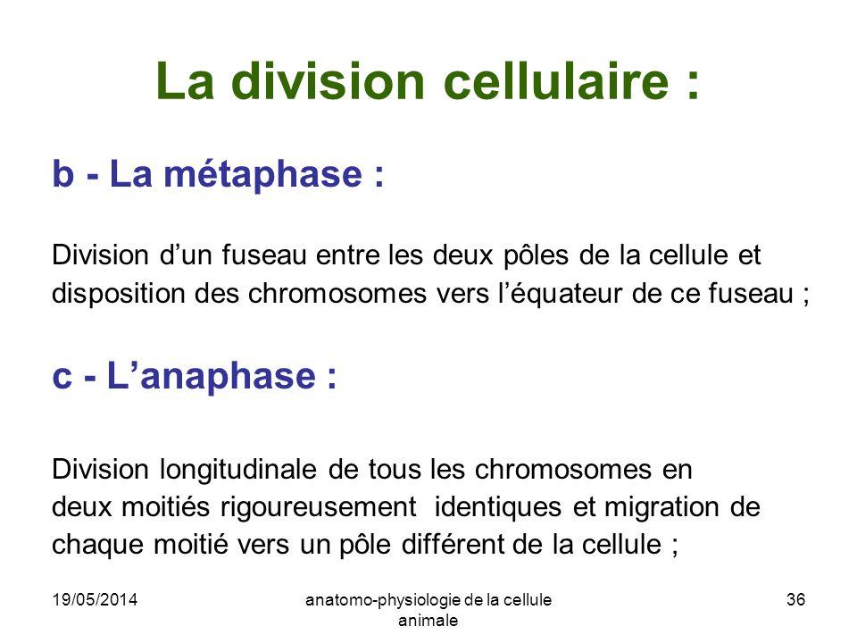 19/05/2014anatomo-physiologie de la cellule animale 36 La division cellulaire : b - La métaphase : Division dun fuseau entre les deux pôles de la cell