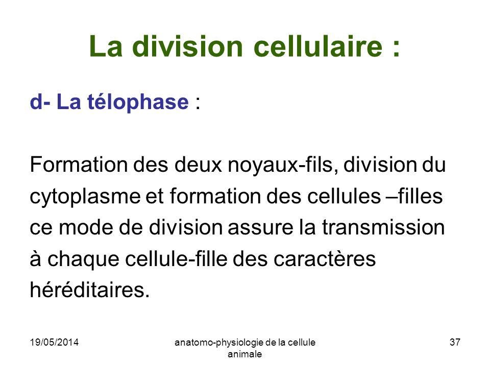 19/05/2014anatomo-physiologie de la cellule animale 37 La division cellulaire : d- La télophase : Formation des deux noyaux-fils, division du cytoplas