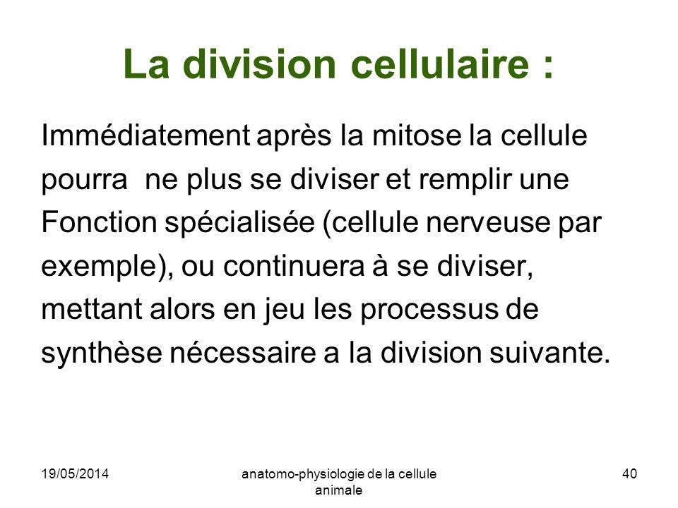 19/05/2014anatomo-physiologie de la cellule animale 40 La division cellulaire : Immédiatement après la mitose la cellule pourra ne plus se diviser et