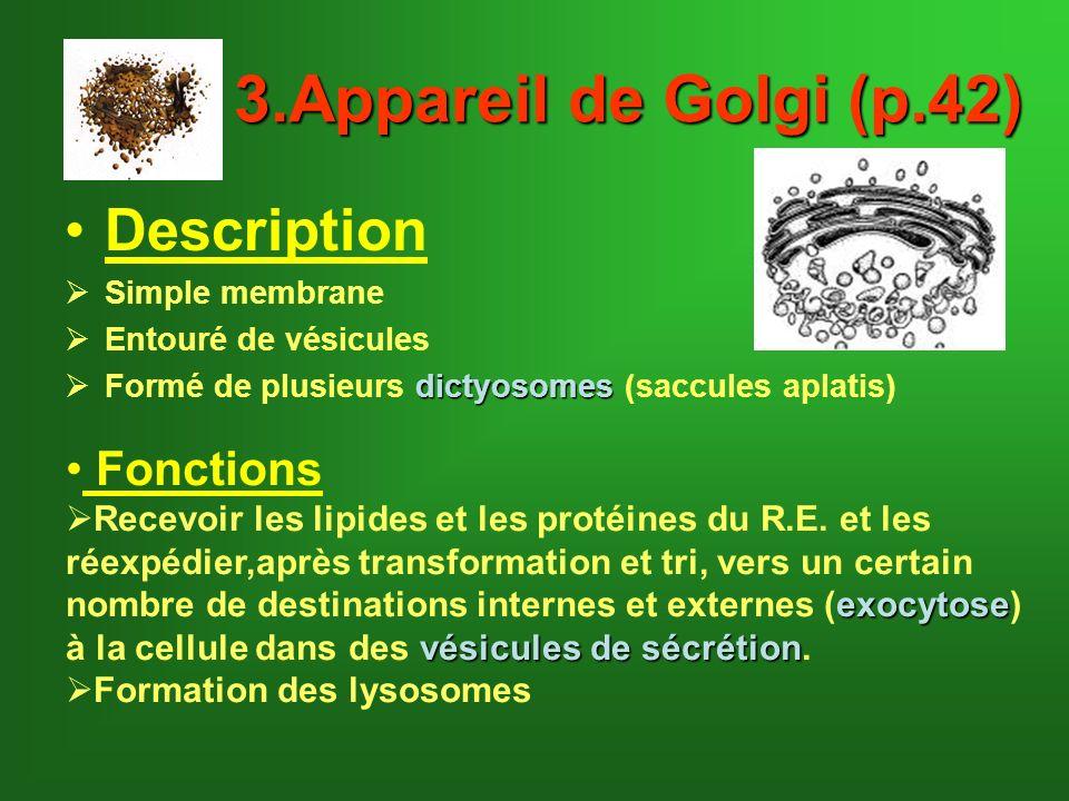 3.Appareil de Golgi (p.42) Description Simple membrane Entouré de vésicules dictyosomes Formé de plusieurs dictyosomes (saccules aplatis) Fonctions Re