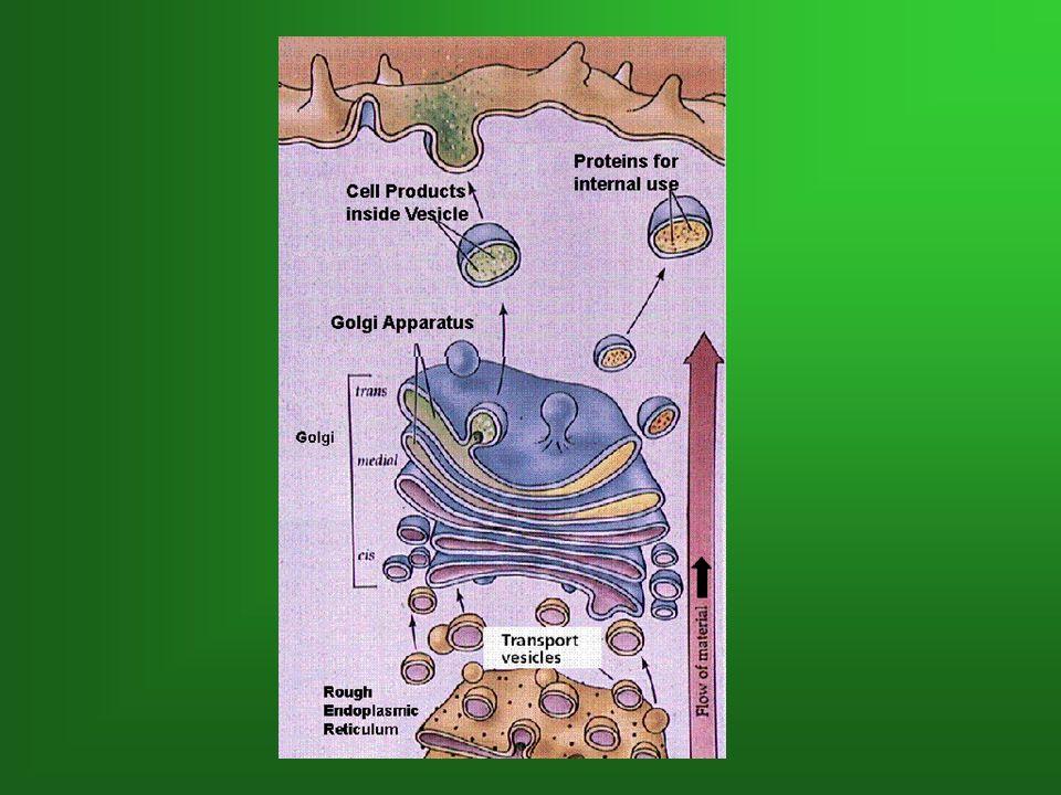 Formation, emballage et sécrétion de protéines