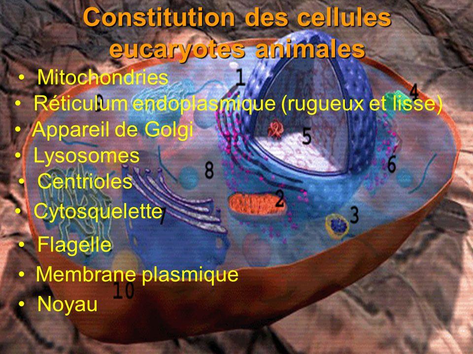 Constitution des cellules eucaryotes animales Membrane plasmique Noyau Mitochondries Réticulum endoplasmique (rugueux et lisse) Appareil de Golgi Lyso