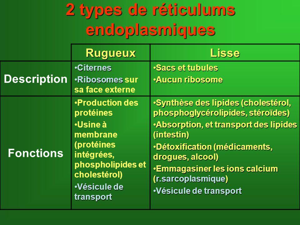 2 types de réticulums endoplasmiques RugueuxLisse Description CiternesCiternes RibosomesRibosomes sur sa face externe Sacs et tubulesSacs et tubules A