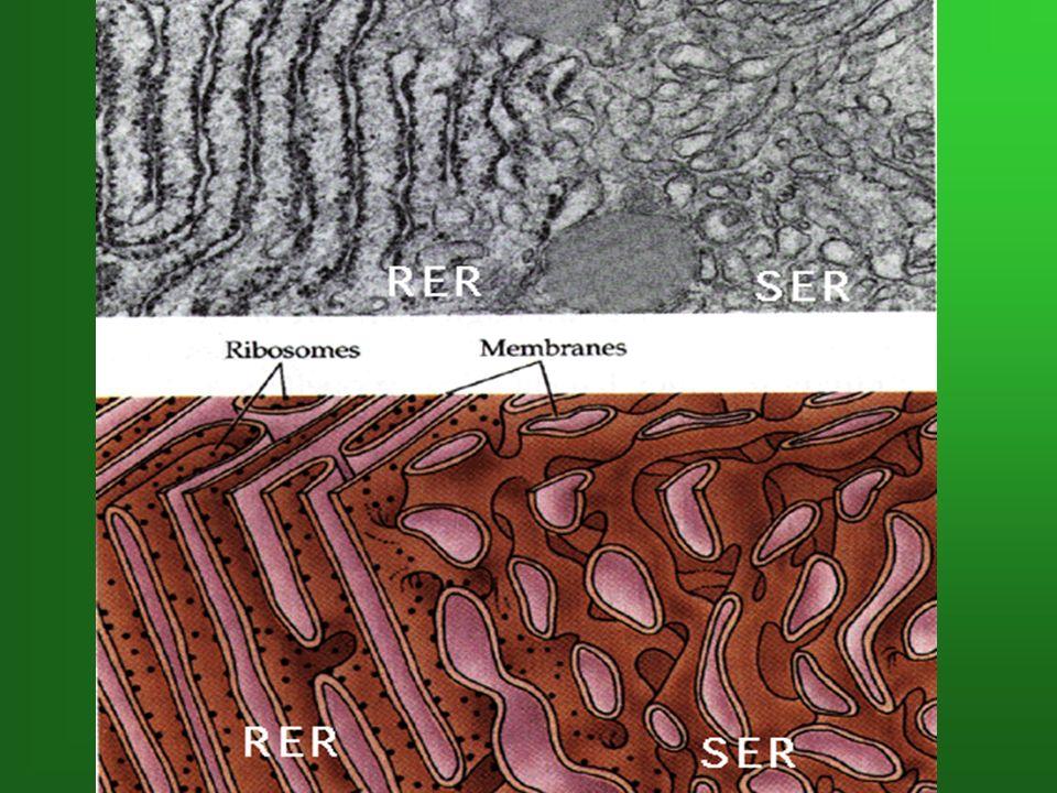 3.Appareil de Golgi (p.42) Description Simple membrane Entouré de vésicules dictyosomes Formé de plusieurs dictyosomes (saccules aplatis) Fonctions Recevoir les lipides et les protéines du R.E.