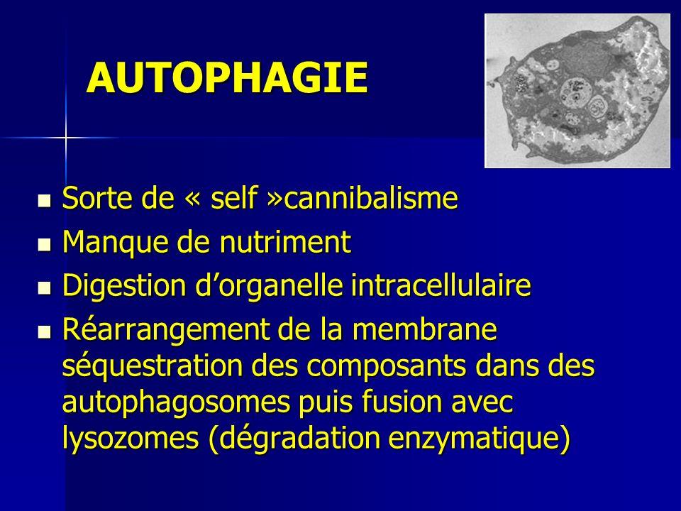 AUTOPHAGIE Sorte de « self »cannibalisme Sorte de « self »cannibalisme Manque de nutriment Manque de nutriment Digestion dorganelle intracellulaire Digestion dorganelle intracellulaire Réarrangement de la membrane séquestration des composants dans des autophagosomes puis fusion avec lysozomes (dégradation enzymatique) Réarrangement de la membrane séquestration des composants dans des autophagosomes puis fusion avec lysozomes (dégradation enzymatique)