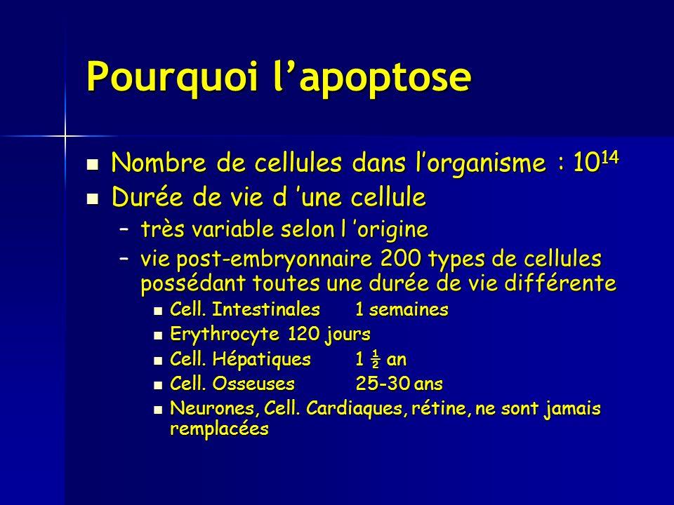 Pourquoi lapoptose Nombre de cellules dans lorganisme : 10 14 Nombre de cellules dans lorganisme : 10 14 Durée de vie d une cellule Durée de vie d une cellule –très variable selon l origine –vie post-embryonnaire 200 types de cellules possédant toutes une durée de vie différente Cell.