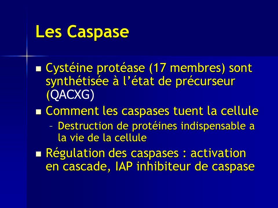 Les Caspase Cystéine protéase (17 membres) sont synthétisée à létat de précurseur ( Cystéine protéase (17 membres) sont synthétisée à létat de précurseur ( QACXG) Comment les caspases tuent la cellule Comment les caspases tuent la cellule –Destruction de protéines indispensable a la vie de la cellule Régulation des caspases : activation en cascade, IAP inhibiteur de caspase Régulation des caspases : activation en cascade, IAP inhibiteur de caspase