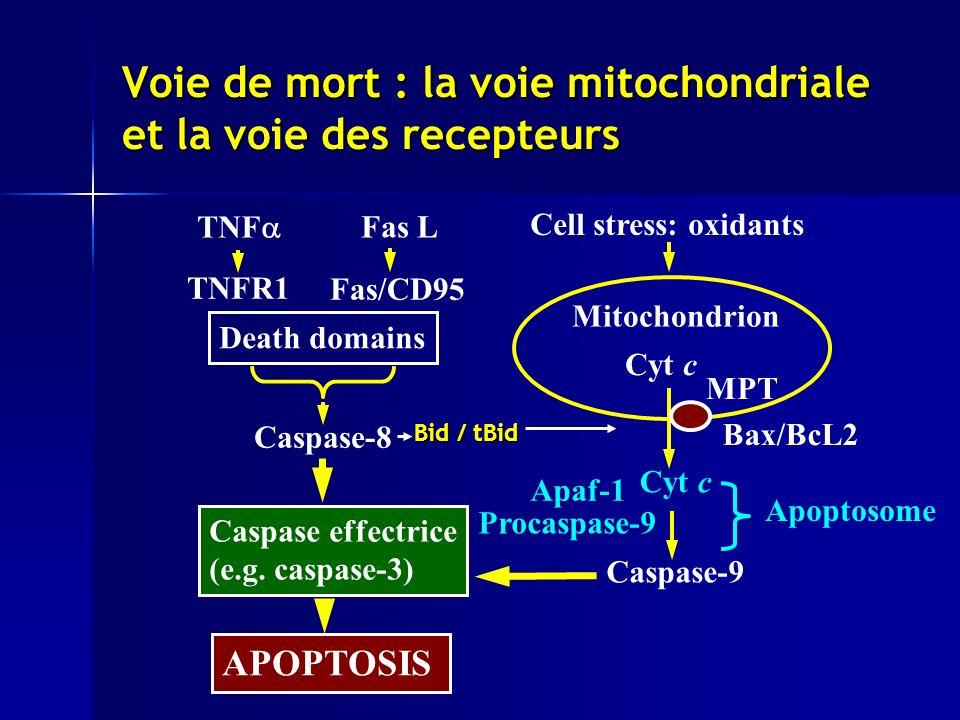 Voie de mort : la voie mitochondriale et la voie des recepteurs Apoptosome Cell stress: oxidants Fas L TNF TNFR1 Fas/CD95 Mitochondrion Bax/BcL2 MPT Cyt c Apaf-1 Caspase-9 Procaspase-9 Caspase effectrice (e.g.