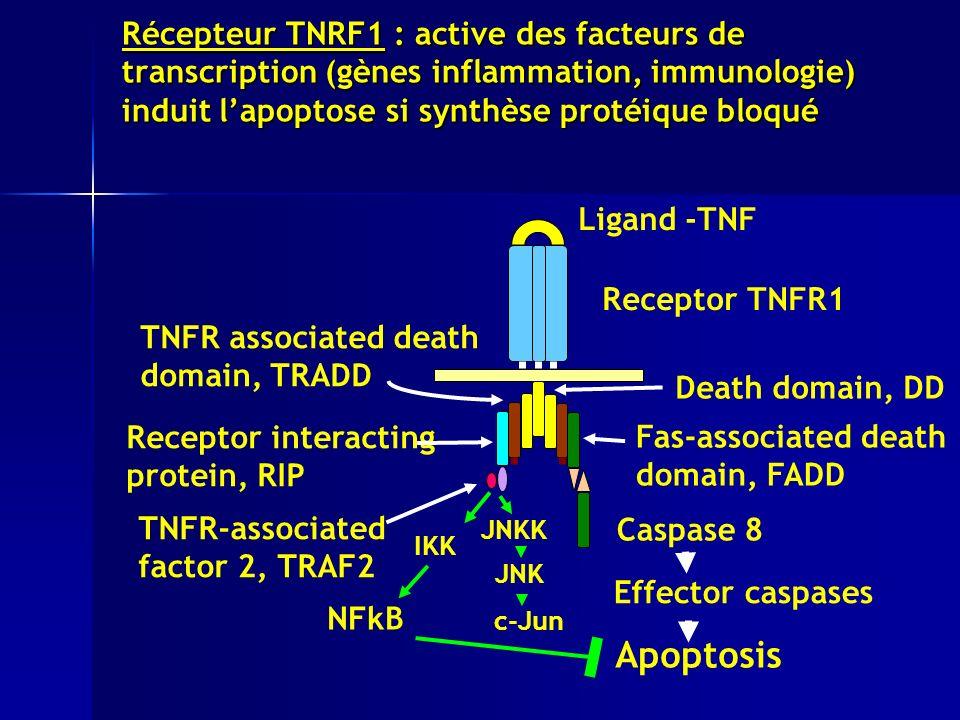 Récepteur TNRF1 : active des facteurs de transcription (gènes inflammation, immunologie) induit lapoptose si synthèse protéique bloqué Ligand -TNF Receptor TNFR1 Caspase 8 Effector caspases Apoptosis Death domain, DD TNFR associated death domain, TRADD Fas-associated death domain, FADD Receptor interacting protein, RIP TNFR-associated factor 2, TRAF2 IKK NFkB JNKK JNK c-Jun