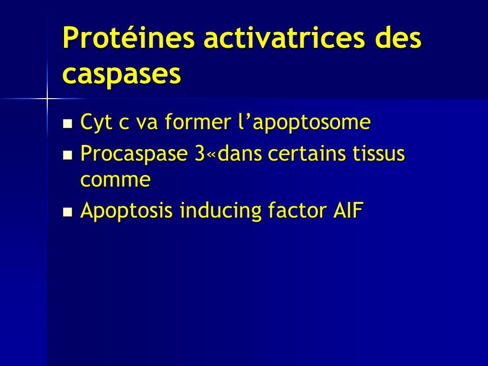 Protéines activatrices des caspases Cyt c va former lapoptosome Cyt c va former lapoptosome Procaspase 3«dans certains tissus comme Procaspase 3«dans certains tissus comme Apoptosis inducing factor AIF Apoptosis inducing factor AIF