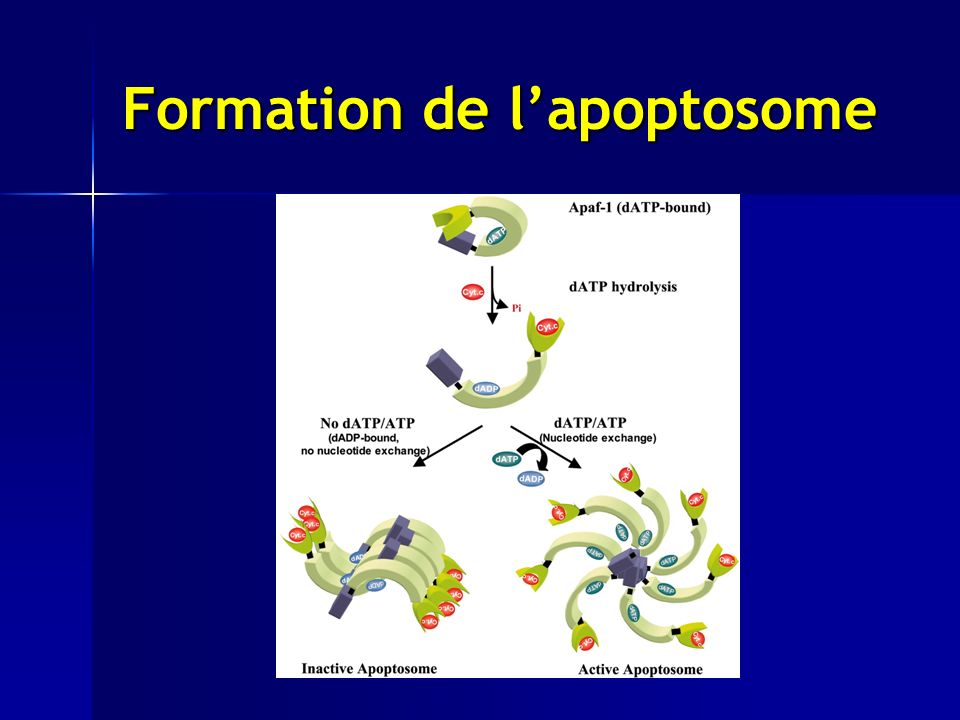 Formation de lapoptosome