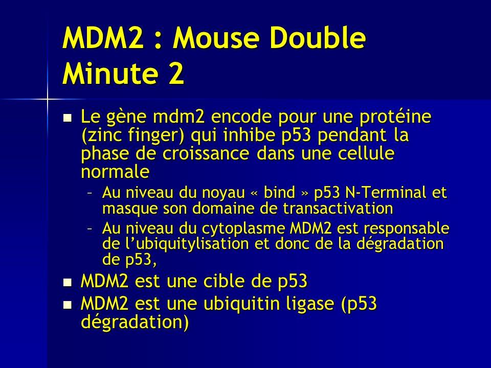 MDM2 : Mouse Double Minute 2 Le gène mdm2 encode pour une protéine (zinc finger) qui inhibe p53 pendant la phase de croissance dans une cellule normale Le gène mdm2 encode pour une protéine (zinc finger) qui inhibe p53 pendant la phase de croissance dans une cellule normale –Au niveau du noyau « bind » p53 N-Terminal et masque son domaine de transactivation –Au niveau du cytoplasme MDM2 est responsable de lubiquitylisation et donc de la dégradation de p53, MDM2 est une cible de p53 MDM2 est une cible de p53 MDM2 est une ubiquitin ligase (p53 dégradation) MDM2 est une ubiquitin ligase (p53 dégradation)