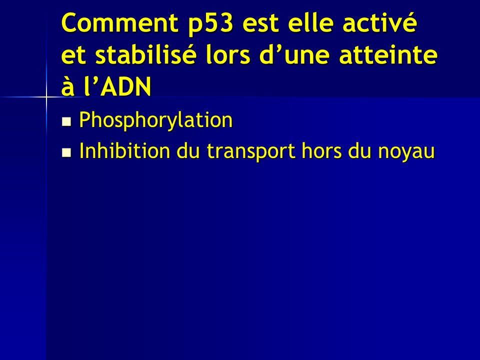 Comment p53 est elle activé et stabilisé lors dune atteinte à lADN Phosphorylation Phosphorylation Inhibition du transport hors du noyau Inhibition du transport hors du noyau