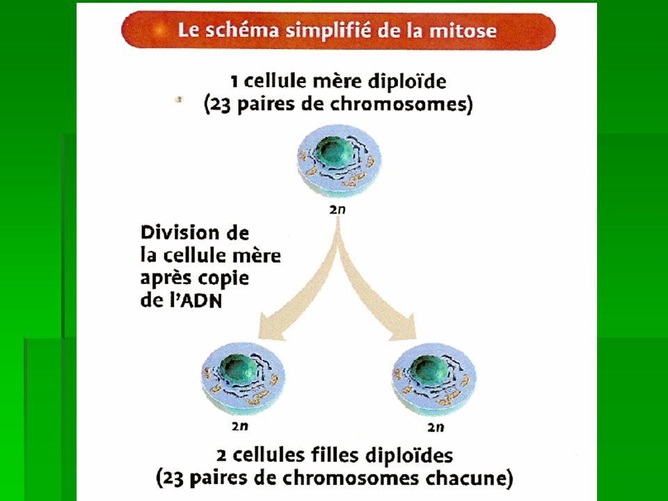 Mitose http://www.ac-creteil.fr/biotechnologies/doc_biocell-videomitosis.htm