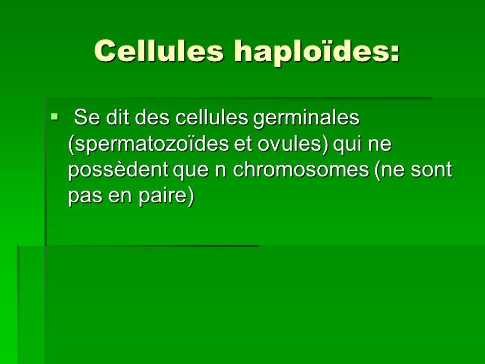 Spermatogonie Cellule souche Spermatogonies dupliquées Spermatocytes Spermatides Spermatozoïdes