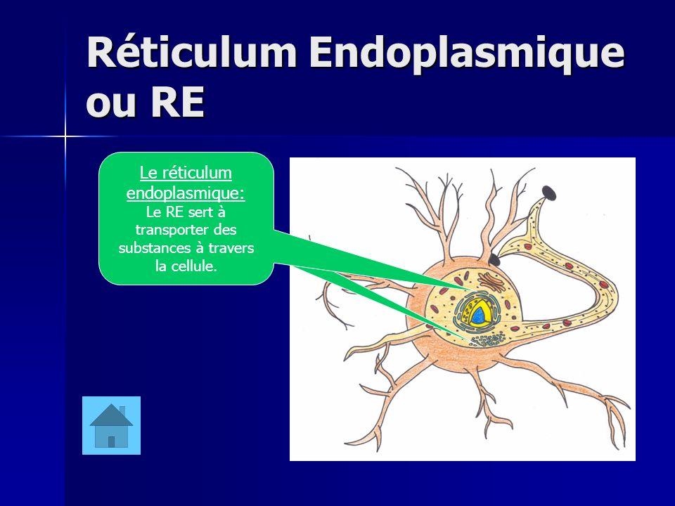 Réticulum Endoplasmique ou RE Le réticulum endoplasmique: Le RE sert à transporter des substances à travers la cellule.