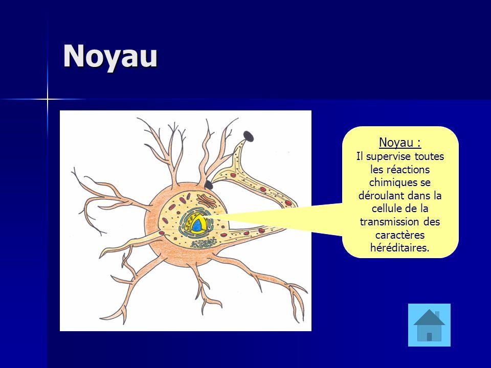 Noyau Noyau : Il supervise toutes les réactions chimiques se déroulant dans la cellule de la transmission des caractères héréditaires.