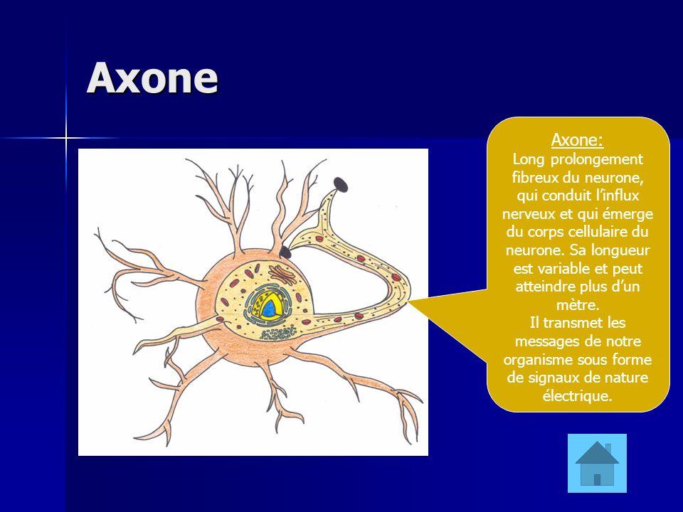 Axone Axone: Long prolongement fibreux du neurone, qui conduit linflux nerveux et qui émerge du corps cellulaire du neurone. Sa longueur est variable